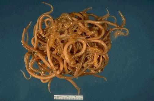 паразиты кишечника названия